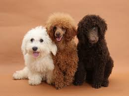 bichon frise 4 months old dogs bichon standard poodle pup and toy poodle photo wp21414