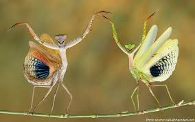 facts about praying mantises just facts