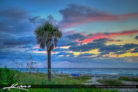 single palm tree at singer island florida at the