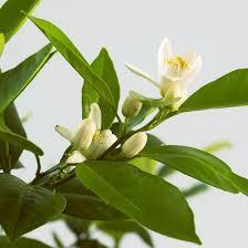 Fragrant Potted Plants - top fragrant houseplants houseplants houseplant and grapefruit
