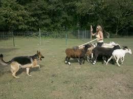 belgian sheepdog herding long island k 9 academy sheep herding