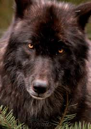 Mad Wolf Meme - 12 best coming soon images on pinterest black wolves fox and nature