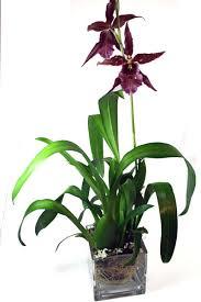 orchid plant royal cattleya orchid plant 66 san francisco florist