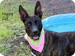 belgian malinois brindle last plea for ziva adopted dog ft myers beach fl belgian