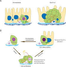 Tissue Renewal Regeneration And Repair A Feedback Amplification Loop Between Stem Cells And Their Progeny