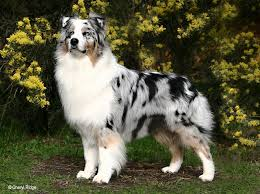 australian shepherd x husky 114 best images about puppies on pinterest chihuahuas shetland