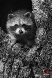 170 best raccoons images on pinterest nature wild animals and