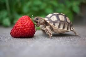 Tortoise Meme - baby tortoise animals know your meme
