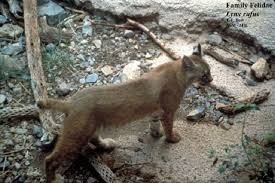 Tennessee wildlife images Tennessee watchable wildlife bobcat hunted jpg