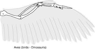Bird Wing - biology of extinct animals
