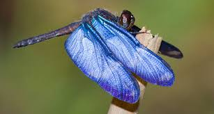 the blue wings of this dragonfly may be surprisingly alive