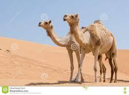 Arabian Desert Map Camels In Arabian Desert Royalty Free Stock Photos Image 6582758