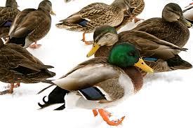 project identifying mallard ducks