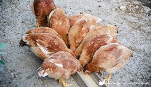 What To Feed Backyard Chickens by Poultry Feeding And Nutrition Visit Our Poultry Learning Centre