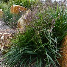 buy grass bluedale plants