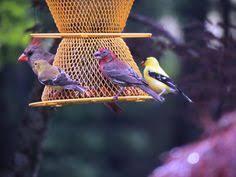 goldfinch dining on black oil sunflower seeds my backyard
