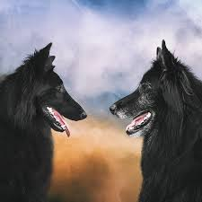 belgian sheepdog art belgian shepherds wolf shadow photography fine art animal