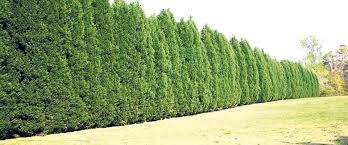 buy leyland cypress trees free shipping 99 99