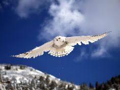 snowy owl immature male snowy owl u2013 juvenile nature wildlife