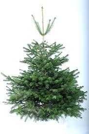 nordmann fir real christmas tree christmas forest