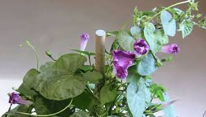 Morning Glory Climbing Plant - morning glory plant care tips growing planting cutting pruning