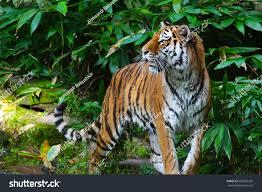 tiger jungle stock photo 360265292
