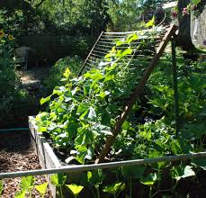 cucumber trellis ladder for growing cucumbers in limited space