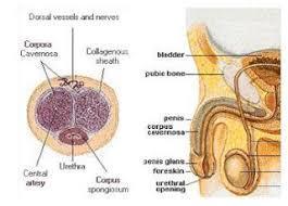 rahasia pria jantan dan perkasa anatomi
