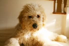 how to groom a goldendoodle the world of goldendoodles
