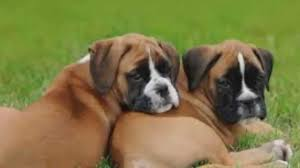 2 types of boxer dogs top 10 most amazing facts about boxer dog breed boxer dogs youtube