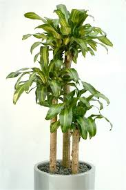 low light houseplants plants that don t require much light execuflora six low light plants for your office