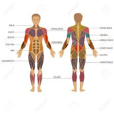 Human Body Anatomy Pics Muscular System Stock Photos Royalty Free Muscular System Images