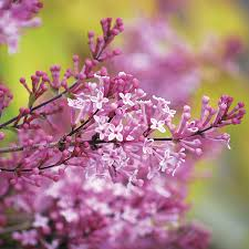 Lilca by Syringa Lilac Shrubs Grow Beautiful Flowering Shrubs From