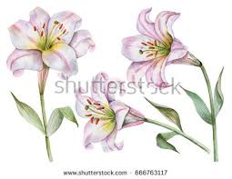 White Lily Flower Lily Flower Stock Images Royalty Free Images U0026 Vectors Shutterstock