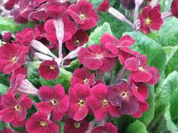 Rock Garden Perennials by Primula Primrose Glacier City Gardener