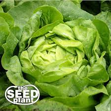 Ebay Vertical Garden - best 25 buttercrunch lettuce ideas on pinterest green lettuce