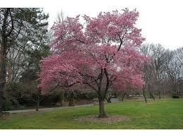 six of the best ornamental flowering cherries trees for