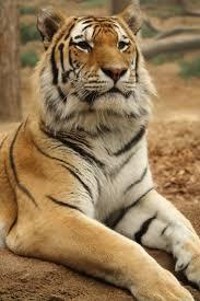 2731 best tigers images on pinterest animals wild animals