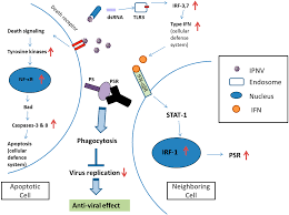 ijms free full text interferon regulatory factor 1 irf 1 is