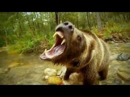 Animal Planet Documentary Grizzly Bears Full Documentaries - wild japan snow monkeys nature documentary animal planet discovery