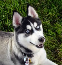 file siberian husky blue eyes flickr jpg wikimedia commons