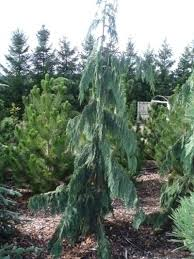 evergreen trees for front garden weeping evergreen trees