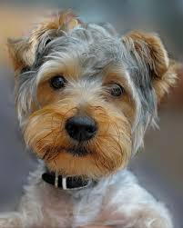 haircut for morkies 16 best images about morkie haircuts on pinterest puppys