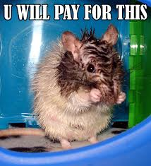 Rodent Meme - u will pay for this jinwicked jinwickedsrats rat rats rattie