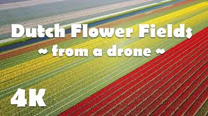 amazing colorful flower fields in holland dutch tulip fields