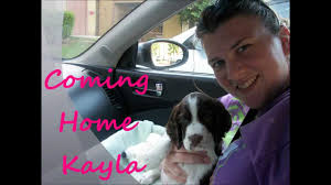 bringing home our english springer spaniel puppy youtube