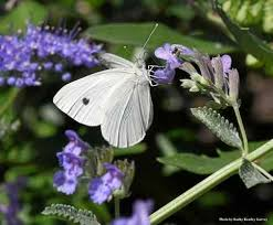 uc davis professor s challenge catch the cabbage white butterfly