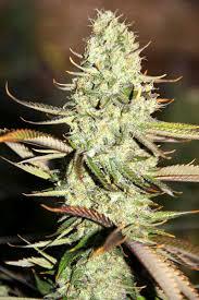 opium auto opium divine cannabis seeds bank