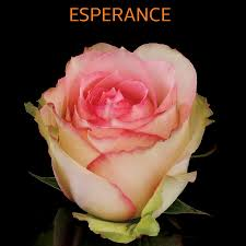 esperance pink and cream bi color sarah u0027s wedding pinterest
