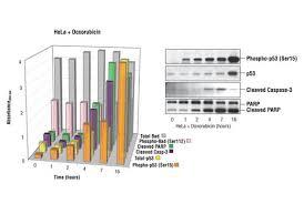 target danvers ma black friday hours cst pathscan apoptosis multi target sandwich elisa kit